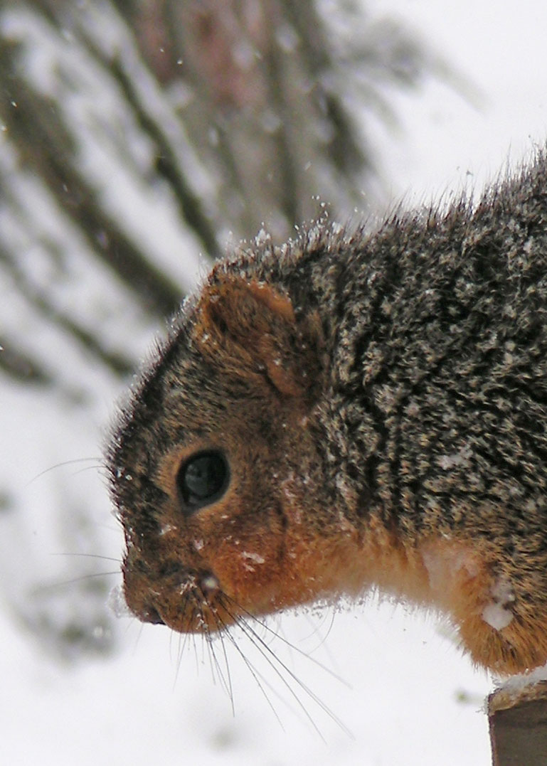 Squirrel---color-cast