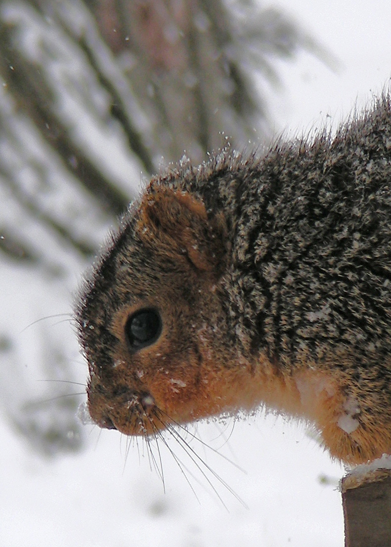Squirrel-close-up---9918