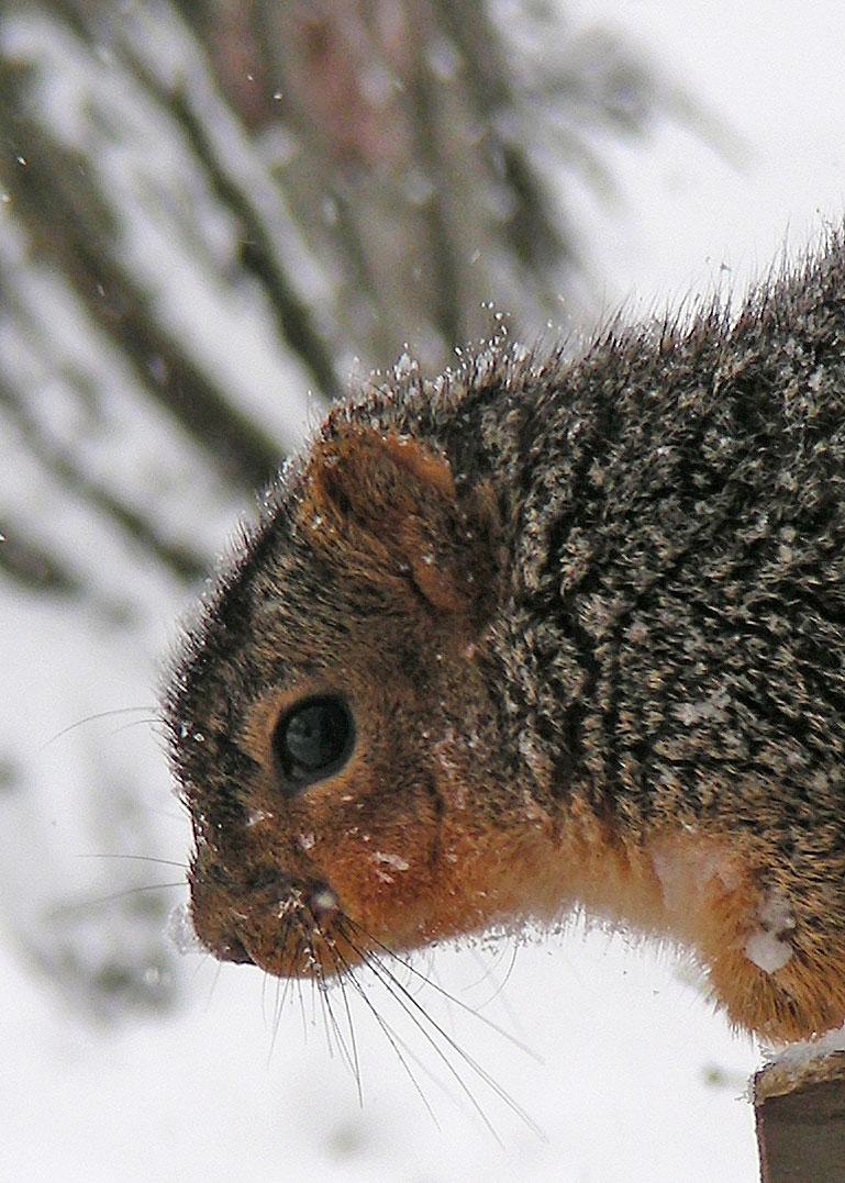 Squirrel---Unsharp-Mask